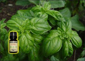 Basil Essential Oil - 10 ml